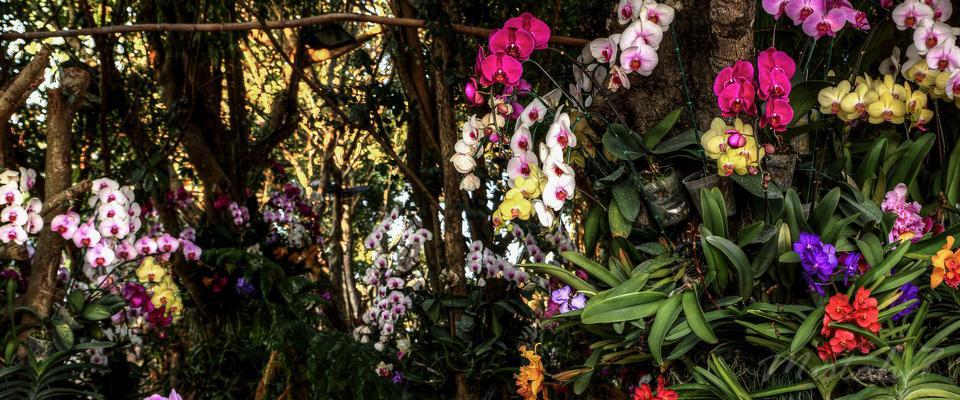 Orchids in Chiang Rai Flowerfestival December - January